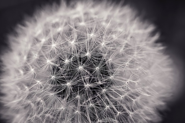 Dandelion, Close Up, Pointed Flower, Nature, Macro