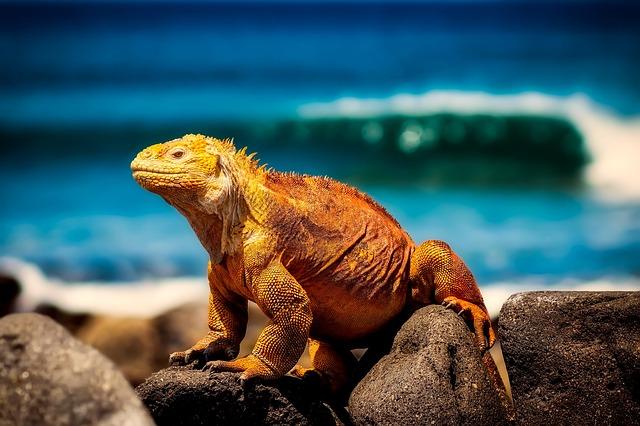 Lizard, Reptile, Scales, Macro, Closeup, Nature