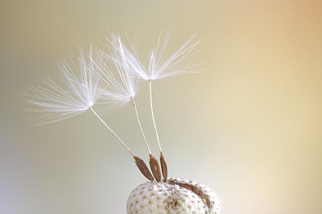 Seeds, Macro, Dandelion, Close Up, Color, Spring