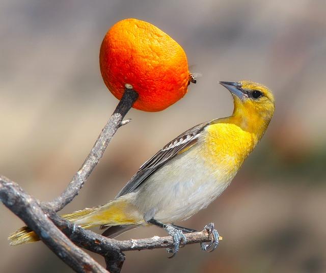 Oriole, Bird, Wildlife, Macro, Closeup, Colors, Orange