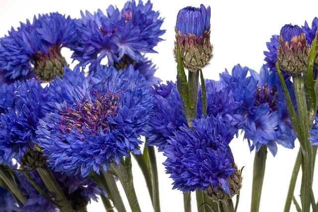 Flowers, Cornflower, Blue, Macro, Blue Flower, Blossom