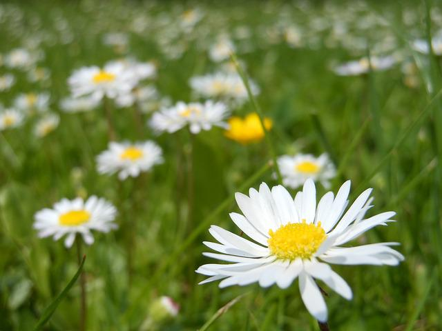 Daisies, Daisy, Flower, Macro, White, Spring, Green
