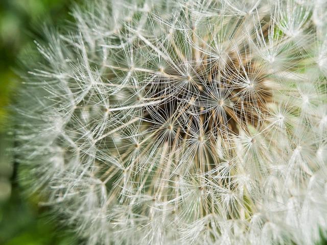 Dandelion, Seeds, Close, Common Dandelion, Macro