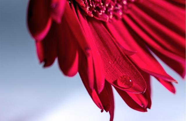 Flower, Gerbera, Flower Garden, Bouquet, Macro, Nature