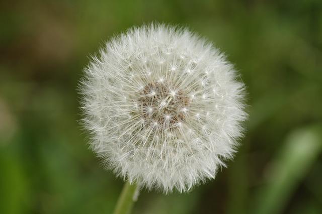 Dandelion, Close, Macro, Flower, Seeds