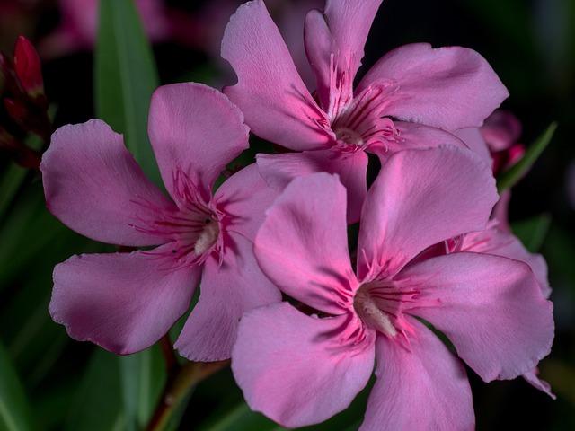 Flowers, Macro, Oleander