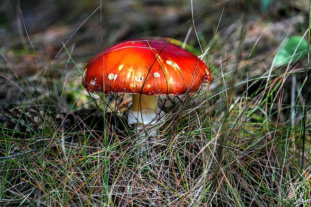 Fly Agaric, Mushroom, Macro, Close Up, Forest