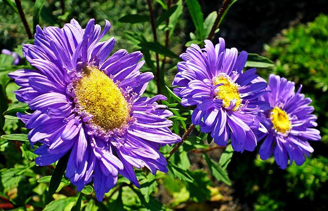 Aster, Flower, Blue, Garden, Summer, Macro, The Petals