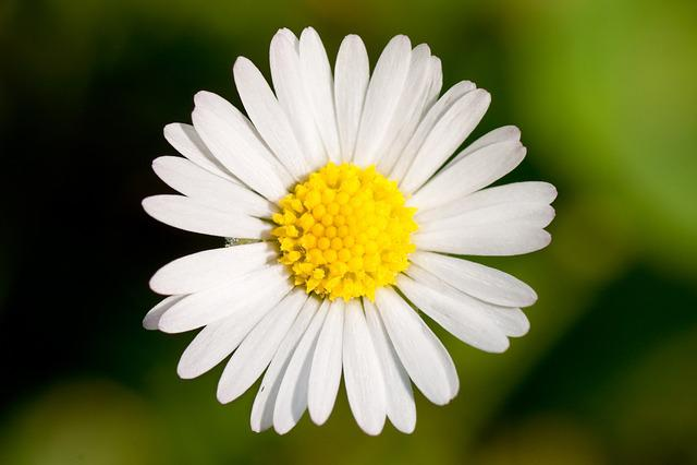 Flower, Macro, Garden, Daisy, Innocence, Meadow