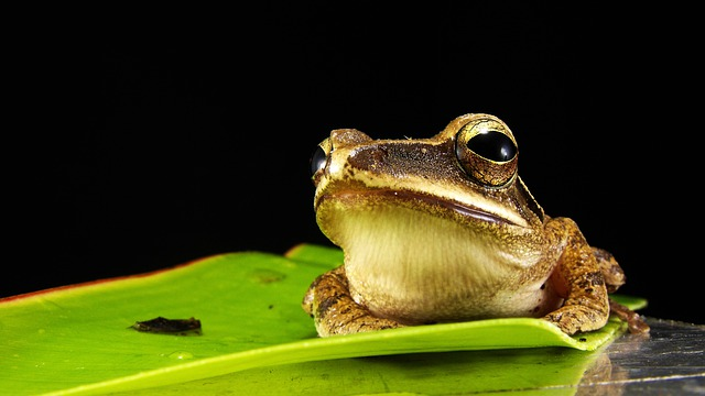 Frog, Golden Eyes, Macro