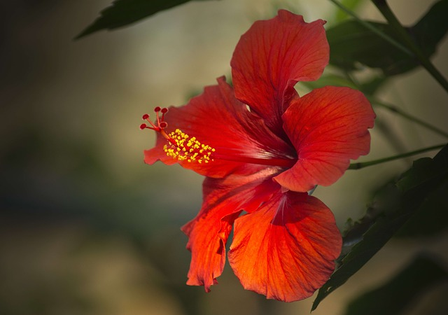 Hibiscus, Red, Close Up, Macro, Flower