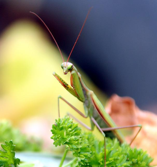 Insect, Mantis, Grasshopper, Mantis Religiosa, Macro