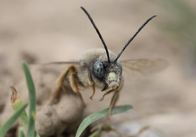 Bee, Wild, Macro, Insecta