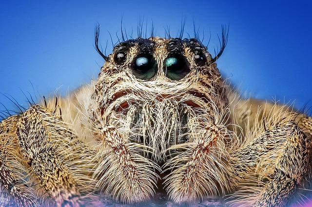 Jumping Spider, Spider, Insect, Macro, Eyes, Cute