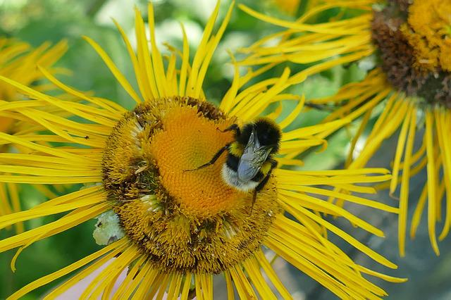 Inula, Lamiaceae, Nature, Macro, Blossom, Bloom, Bee