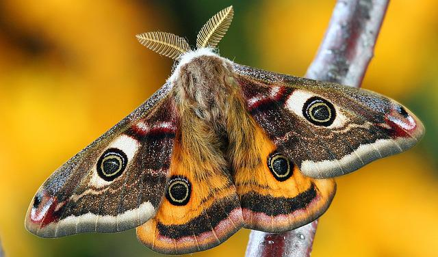 Moth, Lepidoptera, Insect, Macro, Uk, Nature