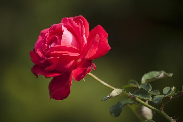 Flower, Rose, Love, Macro, Red Rose, Nature, Plant