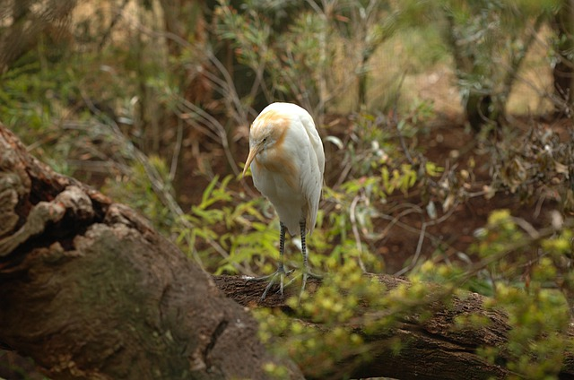 Cattle Egret, Bird, Macro, Close-up, Zoo, Melbourne