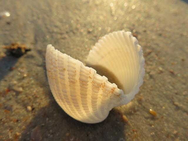 Seashell, Macro, Beach, Shell, Natural, Mollusk
