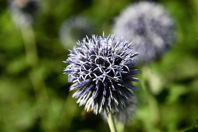 Ornamental Onion, Ball Leek, Plant, Macro, Nature
