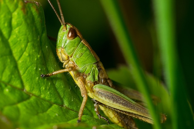 Grasshopper, Nature, Macro, Detail, In The Grass
