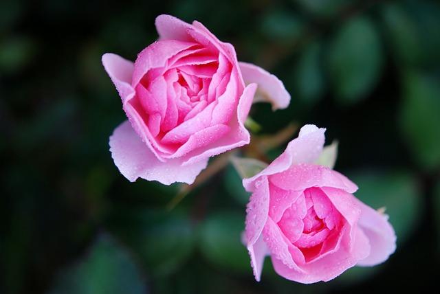 Roses, Flower, Nature, Macro, Pink, Rose
