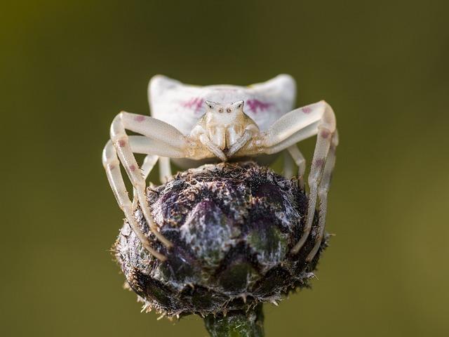 Spider, Dorsata, Arachnids, Macro, Nature, Hunter