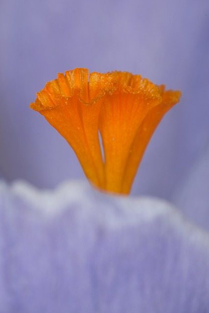 Stamen, Saffron, Orange, Violet, Flower, Macro, Nature