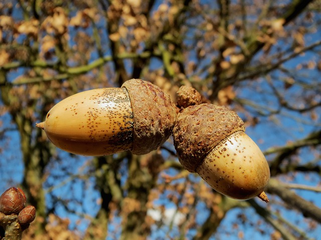 Oak, Quercus Robur, English Oak Tree, Nuts, Macro