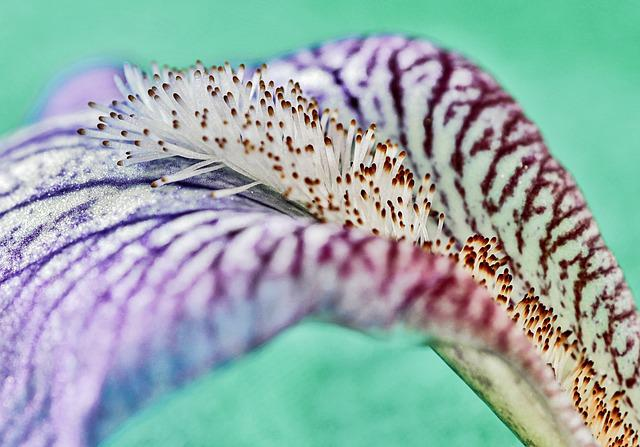 Macro, Iris, Lily, Pattern, Garden