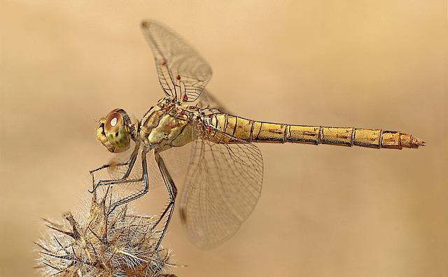 Dragonfly, Macro Photography, Nature