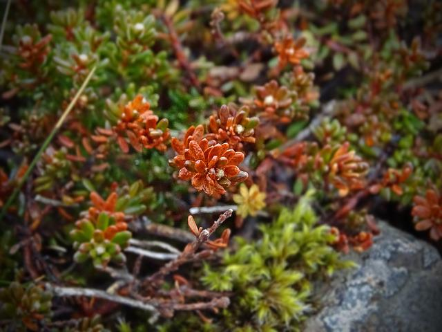 Plant, Red, Iceland, Green, Macro, Stone Crop, Nature