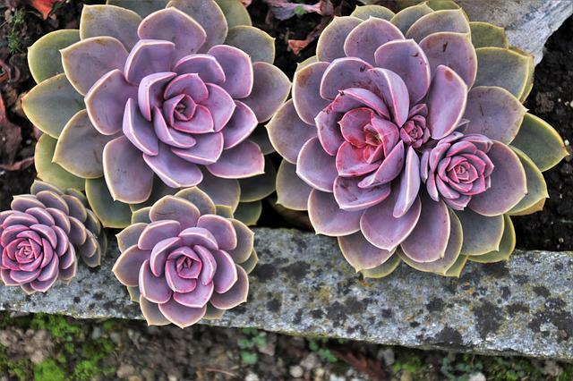 Succulents, Macro, In The Fall, Oct, Natural, Plant