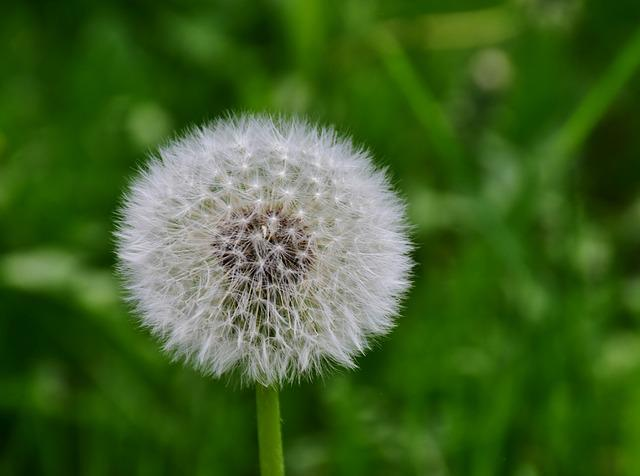 Dandelion, Green, White, Macro, Nature, Pointed Flower