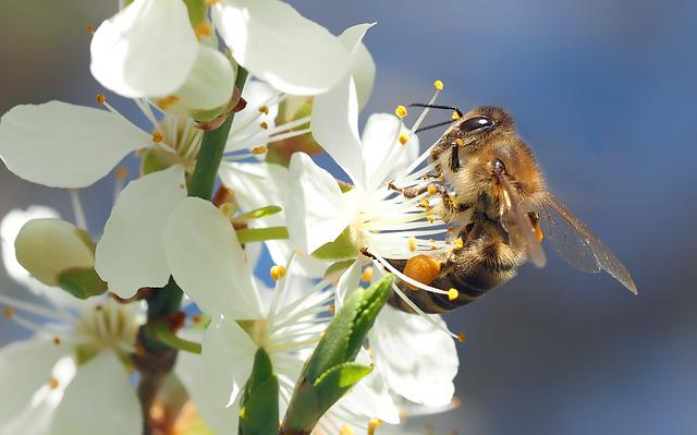 Bee On Cherry Blossom, Honey Bee, Always, Pollen, Macro