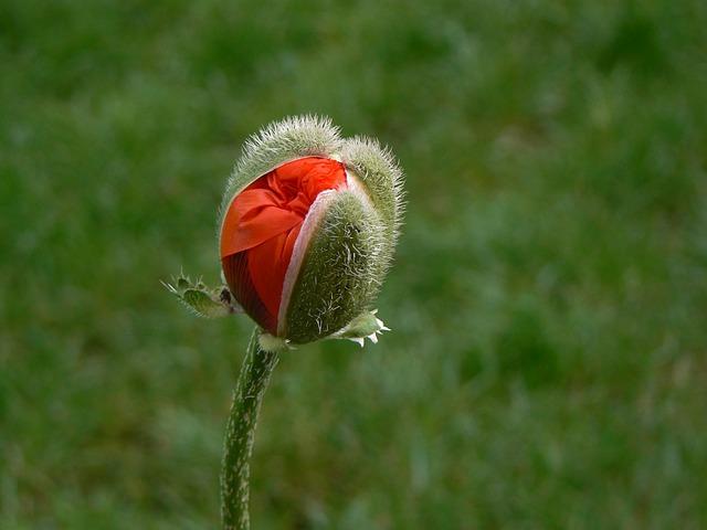 Poppy, Macro, Red, Poppy Flower, Flowers
