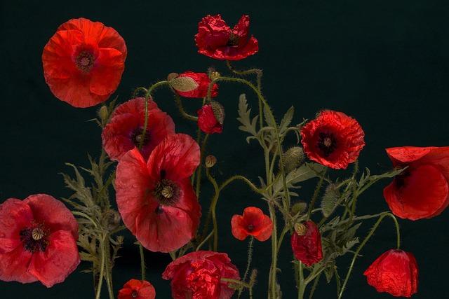 Poppy, Klatschmohn, Macro, Red, Poppy Flower