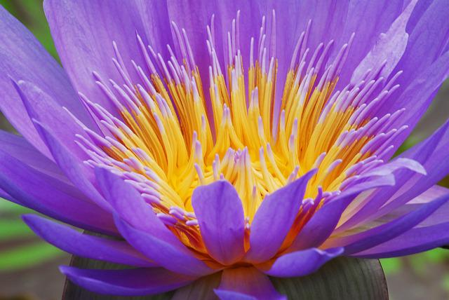 Flower, Plant, Lotus, Nature, Macro, Purple, Water Lily