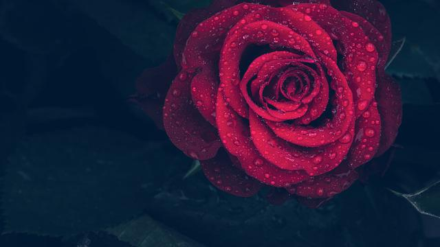 Rose, Red, Drops, Rain, Macro, Nature, Red Rose, Flower