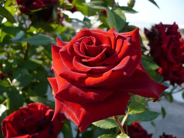 Rose, Red Rose, Macro, Red, Close, Nature, Flower