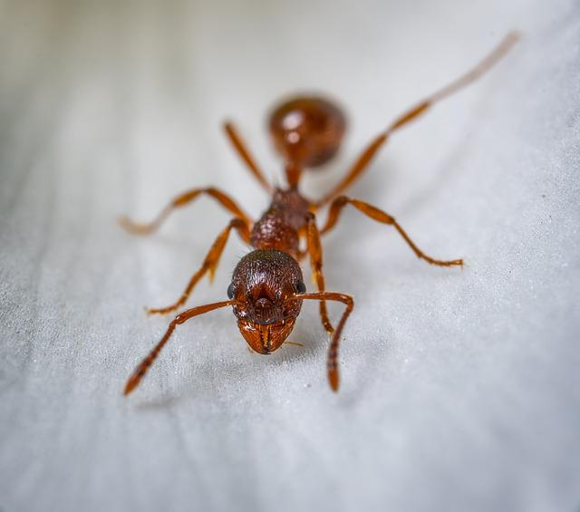 Insect, Macro, Ant, Redhead