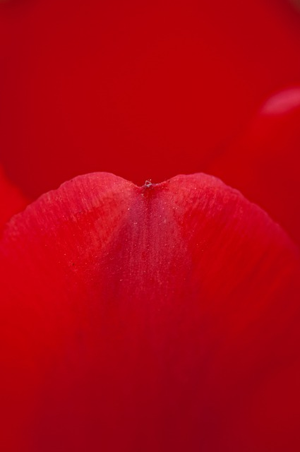 Rose, Petal, Red, Rose Petals, Flower, Macro, Nature