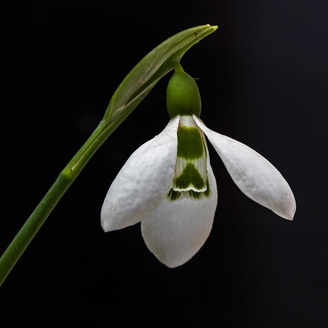 Snowdrop, Flower, Nature, Plant, Macro, Spring