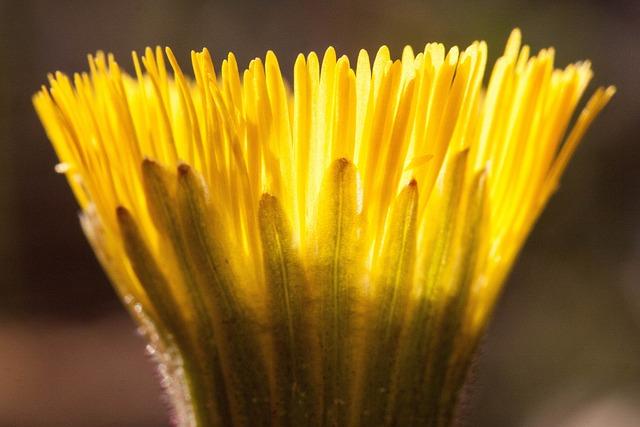 Tussilago Farfara, Flower, Macro, Close Up, Blossom