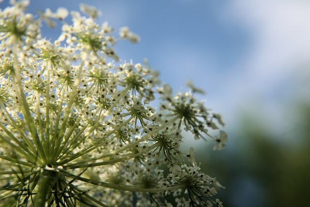 Flower, White, Wildflower, Wild Carrot, Macro, Closeup