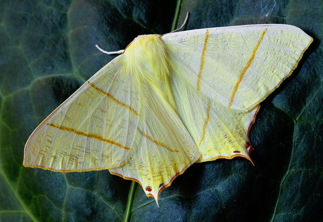 Moth, Macro, Insect, Nature, Wing, Yellow