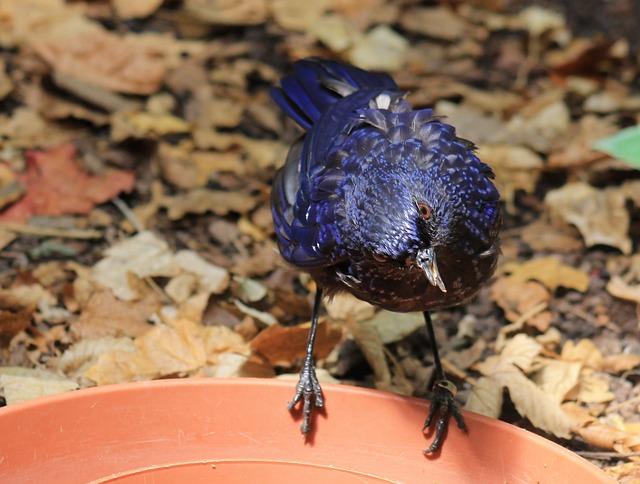 Madagascar Drongo, Bird, Animal, Zoo, Nature