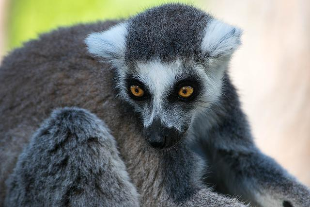 Lemur, Zoo, Animal, Madagascar, Mammal, Face, Primate