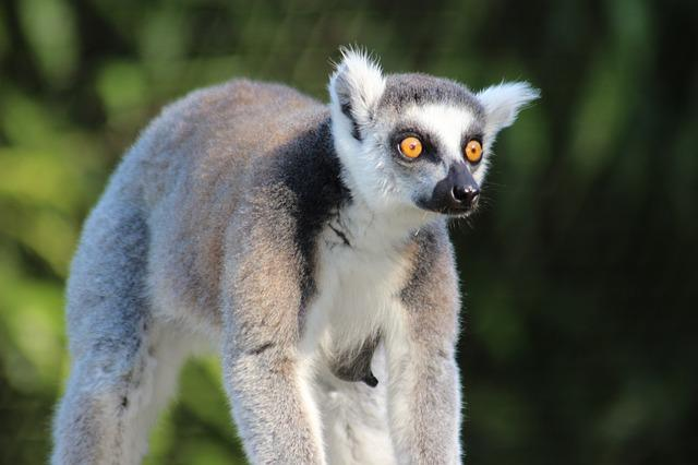 Madagascar, Animal, Wild, Lemur, Zoo