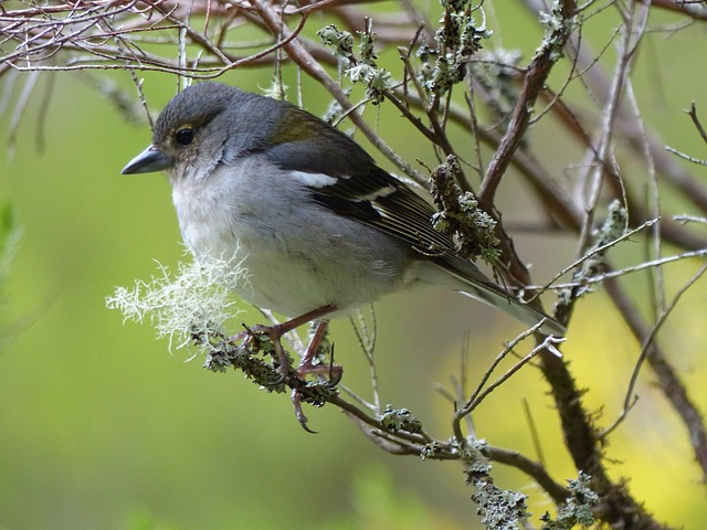 Madeira, Ile, Bird, Fauna, Ornithology, Nature